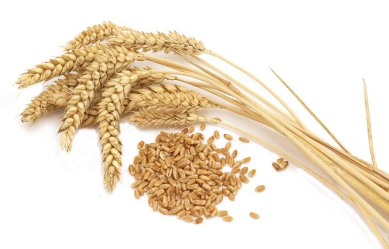 Колосья пшеницы и зерно