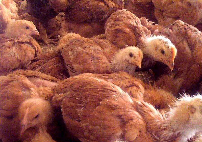 Цыплята породы Редбро