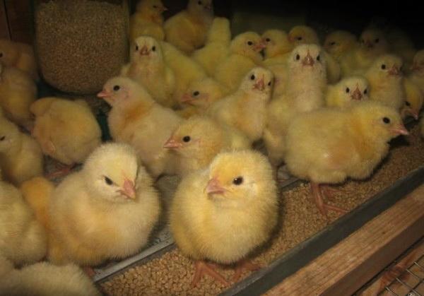 Цыплята недельные в кормушке