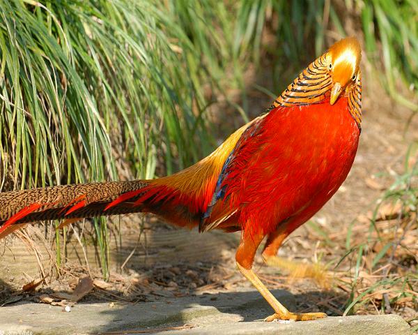 Золотой фазан