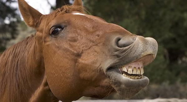 Зубы коня крупным планом